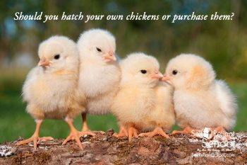 Should You Hatch Your Own Chickens Or Purchase Them?