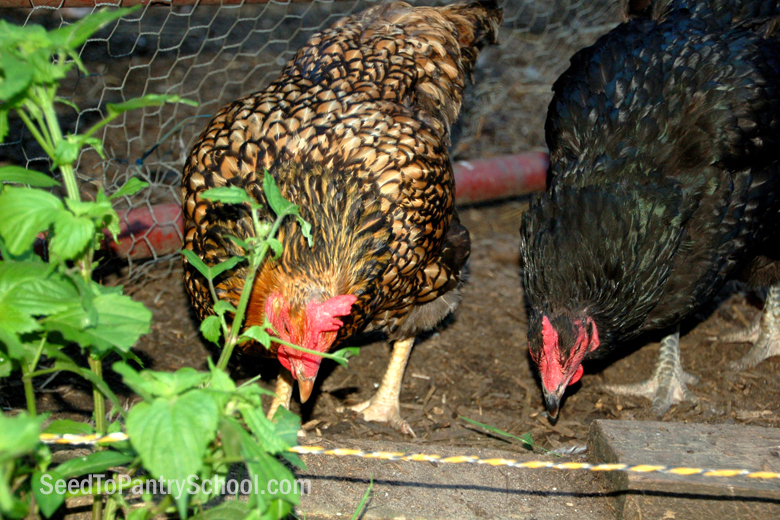introduction-to-caring-for-chickens
