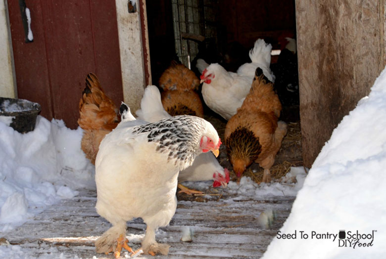 keep-poultry-through-the-winter