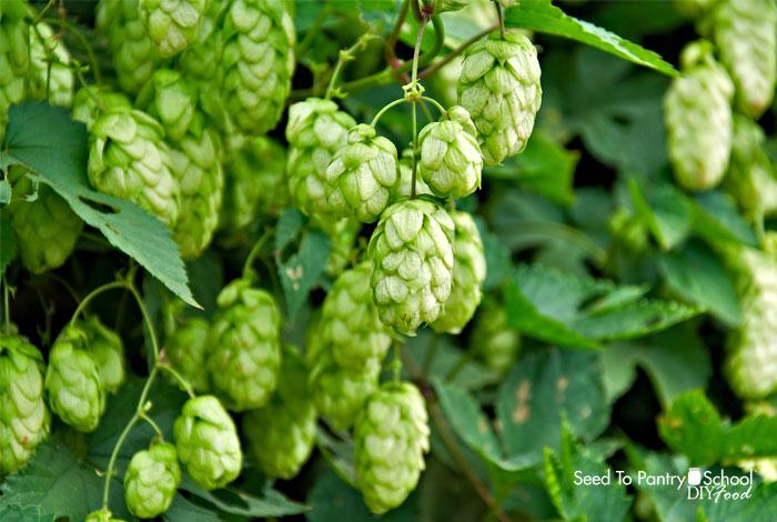 brew-dry-hopped-cider