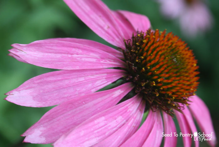 grow-harvest-preserve-echinacea