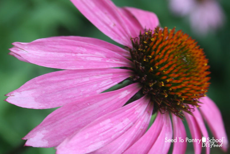 Fascination About How To Save Coneflower Seeds