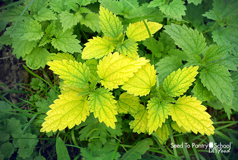 grow-use-stinging-nettle