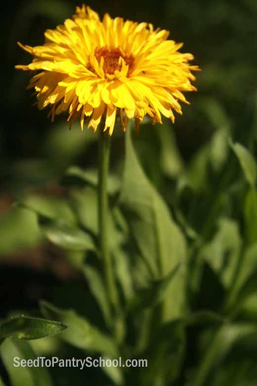 how-to-grow-and-use-calendula