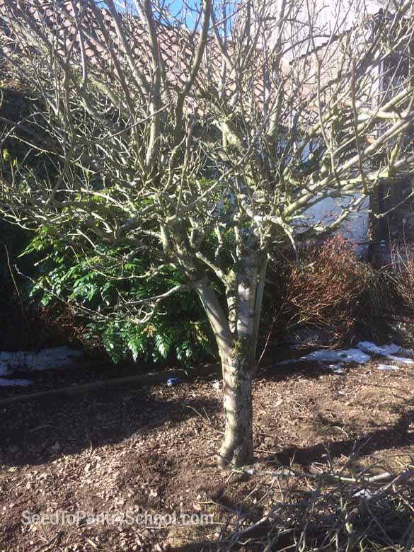 how-to-prune-apple-trees