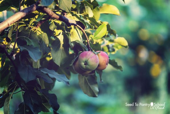how-to-prune-apple-trees